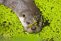 European Otter / Lutrinae swimming through common waterlens Stock Image