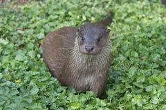 European otter posing Stock Image