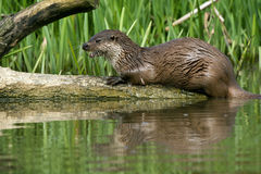 European Otter. Reflected in sun splashed water Royalty Free Stock Photo