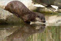 European Otter Stock Photo