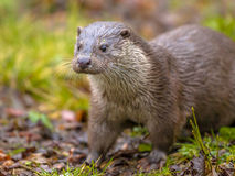 European otter on river bank Royalty Free Stock Images