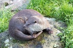 European Otter. Stock Photography