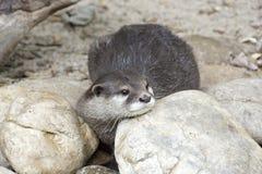 European otter staring between rocks Royalty Free Stock Photo