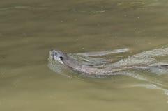 European Otter swimming in River stock image