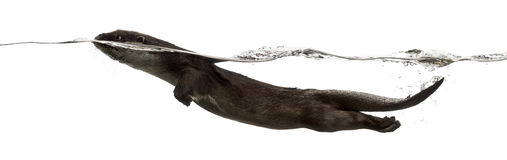 European otter swimming at the surface royalty free stock images