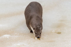 European otter Royalty Free Stock Photography