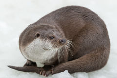 European otter Royalty Free Stock Image