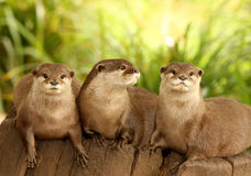 European Otters. Portrait of a group of European Otters on a tree stump Stock Images