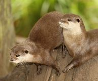 European Otters Royalty Free Stock Images