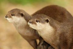 European Otters Stock Photo