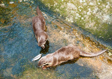 European otters eat fish Royalty Free Stock Photo