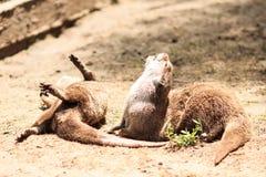 European otters - funny furry animals. Cute otters enjoying the sun in safari park Royalty Free Stock Photos