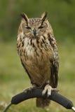 European Owl Royalty Free Stock Images