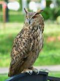 Eurasian owl amid grass stock image