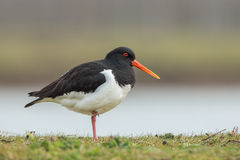 European Oystercatcher standing in the meadow. Royalty Free Stock Photo