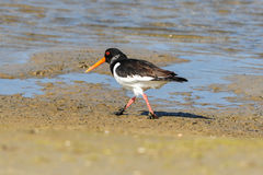 An European Oystercatcher. Walking in the swamps Royalty Free Stock Photo