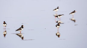 European Oystercatchers Feeding Royalty Free Stock Image