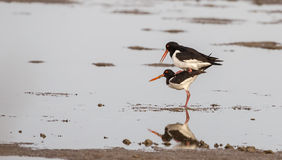 European Oystercatchers Mating Stock Images