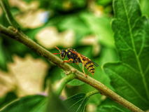 European Paper Wasp. Royalty Free Stock Image