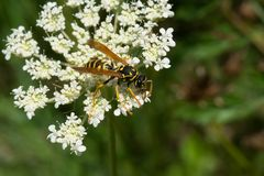 European Paper Wasp - Polistes dominula. European Paper Wasp collecting nectar from a white Wild Carrot flower. Also known as a Yellow Jacket. Todmorden Mills stock image