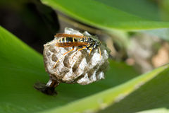 European paper wasp queen Stock Photography