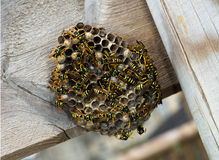 European Paper Wasps, Polistes dominula with nest Royalty Free Stock Photos