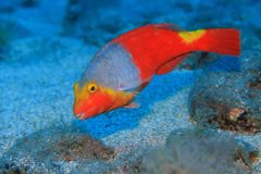 European parrotfish Royalty Free Stock Photo