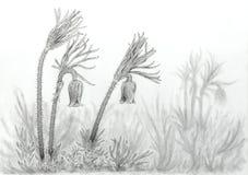 European pasqueflower plants Pulsatilla vulgaris Royalty Free Stock Photos