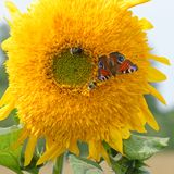 Coexistence. European peacock Aglais Io with couple of bumblebee and some bugs collecting nectar on sunflower side by side Stock Image