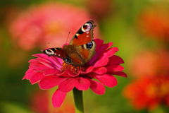 European Peacock (Aglais io) on a zinnia Stock Photos