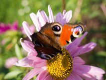 European peacock buterfly sitting on a flower Royalty Free Stock Images