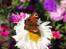 European peacock buterfly sitting on a flower Stock Image