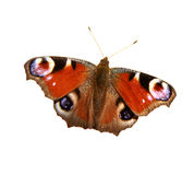 European Peacock Butterfly Royalty Free Stock Images
