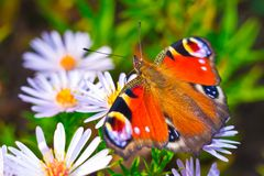 European peacock butterfly (Aglais io) on flower Stock Images