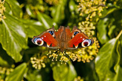 European Peacock butterfly Aglais io on ivy flower Royalty Free Stock Photos