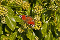 European Peacock butterfly Aglais io on ivy flower Stock Images