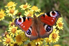 European Peacock butterfly Royalty Free Stock Photography