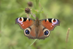 European Peacock butterfly Aglais io Wings Royalty Free Stock Photography