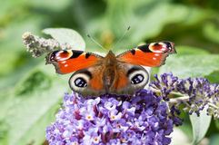 European Peacock butterfly on Buddleia flower Stock Photography