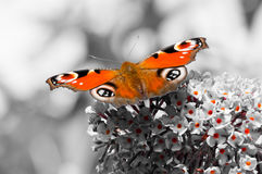 European Peacock butterfly on Buddleia flower Royalty Free Stock Images