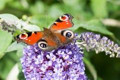 European Peacock butterfly on Buddleia flower Stock Photo
