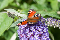 European Peacock butterfly on Buddleia flower Royalty Free Stock Image