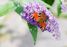 European Peacock butterfly on Buddleia flower Royalty Free Stock Photo