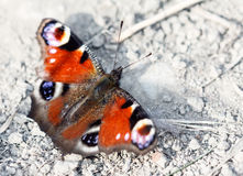European Peacock butterfly Stock Photography