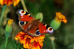 European peacock butterfly on a flowe Stock Photos