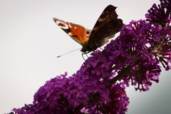 European peacock butterfly on a flower of butterfly bush royalty free stock image