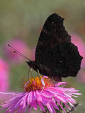 European Peacock butterfly. On flower (chrysanthemum Royalty Free Stock Photography