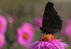 Black butterfly on flower. European Peacock butterfly on flower (chrysanthemum Royalty Free Stock Images