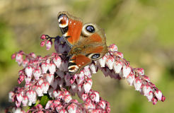 European Peacock butterfly Stock Images