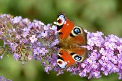 European Peacock butterfly Royalty Free Stock Photos